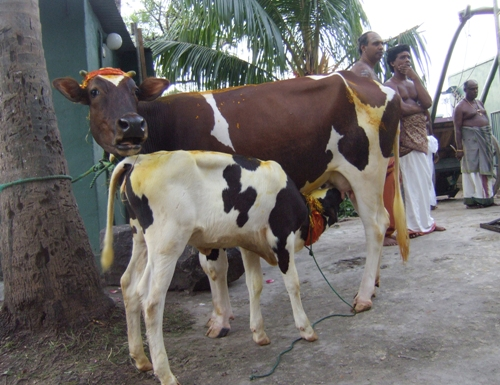 Cow and calf. Amma pasu, naa kannukutti..!!